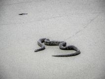 Black Snake on the beach in australia. Black Snake on sand beach in australia stock photography