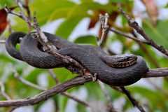 Black snake on the tree Stock Photos
