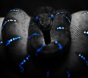 Black snake Royalty Free Stock Image