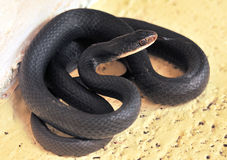 Black Snake Royalty Free Stock Photography