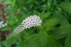 Black Snakeroot – Actaea racemose royalty free stock images
