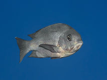 Black snapper fish in water of tropical sea (Macolor niger),  In Royalty Free Stock Images