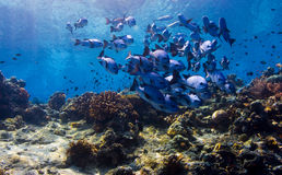 Free Black Snapper Forming Shoal Ball Royalty Free Stock Image - 18476406