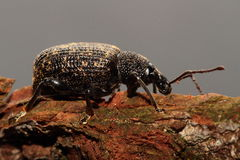 Free Black Snout Beetle. Stock Images - 41691874