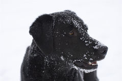 Black Snowy Dog Face Stock Images