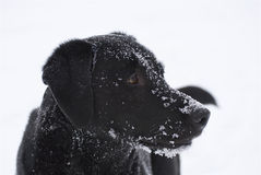 Black Snowy Dog Face Stock Photo