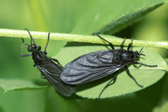 Black soldier fly. A pair of black soldier fly are mating Royalty Free Stock Photos