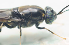 Black soldier fly. Closeup shot of black soldier fly royalty free stock photos