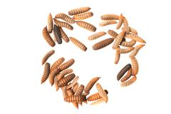 Black soldier fly larvae isolated on white background stock images
