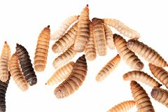 Black soldier fly larvae isolated on white background Stock Image