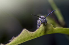 Black soldier fly on a leaf with scary face, taken in softly focus and blurred of dark background in dramatic light Royalty Free Stock Images