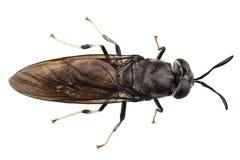 Black soldier fly species Hermetia illucens Stock Photos