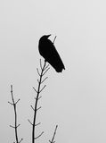 Black solitary crow perched at the top of a winter tree. Black solitary crow perched at the top of a bare winter branch against a grey sky Stock Photo