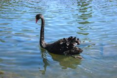 black solitary swan Royalty Free Stock Photos