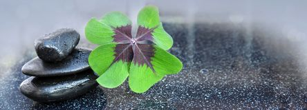 Black spa stones and four leaf clover . Black spa stones and four leaf clover isolated on gray background Stock Photos