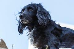 Black spaniel dog. Animal portrait royalty free stock photo