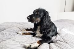 Black Spaniel dog on gray textile decorative coat and pillows for a scandinavian style bed in House or Hotel. Pets. Friendly concept Stock Photos
