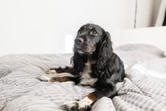 Black Spaniel dog on gray textile decorative coat and pillows for a scandinavian style bed in House or Hotel. Pets Stock Image