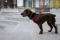 A black spaniel in a red harness stands in the park on the stairs stock photo