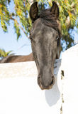 Black spanish horse Stock Images