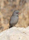 black sparrow chinned Zdjęcia Stock