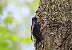 Black Sparrow flew to the nest tree and feeding Chicks Stock Photos