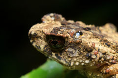 Black speckled brown frog Royalty Free Stock Image