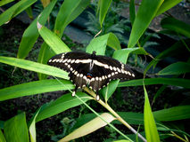 Black Speckled Butterfly. Black and white speckled butterfly resting upon lily leaf Stock Photography