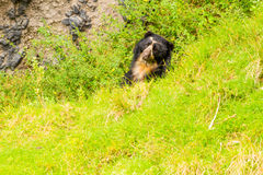 Black Spectacled Wild Andean Bear royalty free stock photo