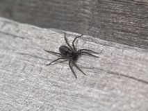 Black spide. The black spider. Small spider on a wooden surface. A few watchful eyes. Preparing to grasp prey. The fine hairs on grasping paws Royalty Free Stock Images