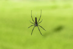 Black Spider on cobwebs. With green background Royalty Free Stock Photography