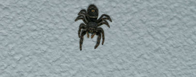 Black Spider. Creepy, furry spider caught on ceiling for a closeup using 85mm macro lens. Sharp detail in the eyes, face and body royalty free stock image