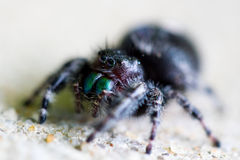 Black spider. Black fuzzy striped legged jumping spider with green fat large fangs stock photography
