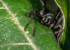 Black spider. A black spider hiding under a leaf near the waterfall in the rain forest of eastern Thailand Stock Photography