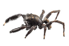 Black spider Royalty Free Stock Image