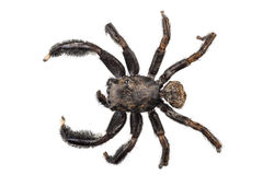 Black spider Stock Photo