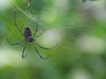 Black spider in its spider web Stock Photos