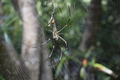 Beautiful web with black spider stock image