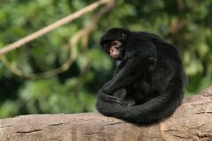 Black Spider Monkey. Resting on fallen tree in afternoon sun Stock Photography