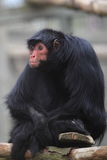 Black spider monkey Stock Photography