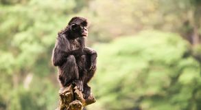 Black spider monkey alone portrait, with partly open mouth, sitting crouching on a piece of wood Stock Photos