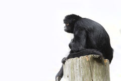 Black Spider Monkey ( Ateles paniscus) Stock Photos