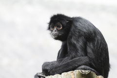 Black Spider Monkey ( Ateles paniscus) Stock Images