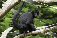 Black Spider Monkey ( Ateles paniscus) Royalty Free Stock Photography