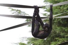 Black Spider Monkey ( Ateles paniscus) Stock Image
