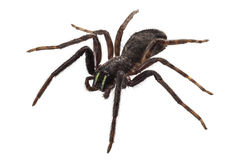 Black spider species tegenaria sp Stock Images