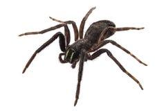 Black spider species tegenaria sp stock images