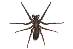 Black spider species tegenaria sp Royalty Free Stock Image
