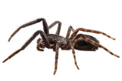 Black spider species tegenaria sp Royalty Free Stock Photo
