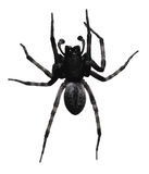 Black spider. On white background Royalty Free Stock Photography
